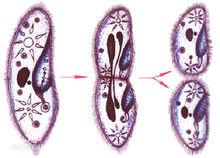 草履虫的分裂生殖过程
