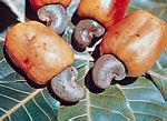 腰果(Anacardium occidentale)